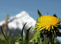 Spring brings warm weather good for home maintenance. Use the Spring home maintenance checklist to keep property values high and repairs costs low. Keep It Real, Dandelion Plant, Dandelion Yellow, Home Maintenance Checklist, Flora, Natural Remedies For Allergies, Edible Wild Plants, Natural Detox, Felder