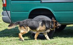 """How to Use an """"All Clear"""" in Scent Detection Ken Ramirez —Lessons from Science Crazy Dog Lady, Dog Pin, Zoo Animals, Four Legged, Being Used, Pet Care, Dog Training, Science, Horses"""
