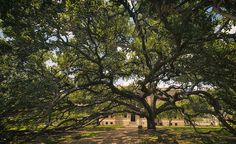 Century Tree - Joan Carroll at Texas A&M university in College Station TX. To view or purchase the original photograph as a print, canvas, greeting card, or phone case, visit joan-carroll.artistwebsites.com. Thanks!