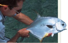 Great article by fly fishing veteran Chico Fernandez on everything Permit.  #permit #flyfishing