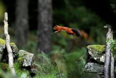 A Red Squirrel darts along a stone wall in Kielder Forest, Northumberland after collecting food.