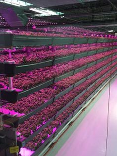 <p>Farmed Here's 90,000-square-foot warehouse grows basil, baby greens, broccoli, and kale--all of it bathed in the purple fluorescence of LED light.</p>