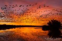 Bosque del Apache National Wildlife Refuge, New Mexico, USA Snow Geese at Dawn by Andrew Kelley