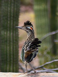 Picture of a roadrunner.