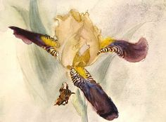 Iris pastels, drawings & paintings by Polly Thayer (Starr)