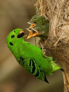 Green Broadbill - Photo by Mike Gillam - Adult feeding young - Location: Phang Nga Province, Thailand