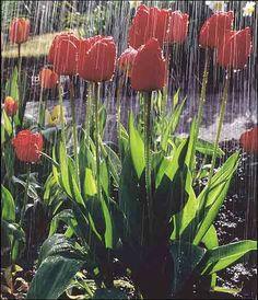 Spring Rain  - Tulips