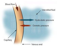This image demonstrates the fluid flow between capillaries and body tissues.
