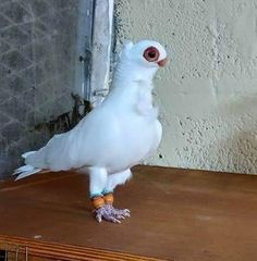 White Pigeon, Pigeon Bird, Dove Pigeon, Pretty Birds, Beautiful Birds, Rare Animals, Animals And Pets, Pigeon Loft Design, Pigeon Pictures