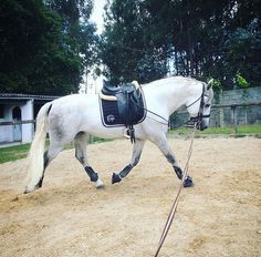 """""""I lunged Dale all tacked up and he was a rock star! He bucked, reared, crow hopped, and spooked (a lot!) But then he settled down. He has so much potential!""""-Morgan"""