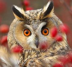 A long-eared owl with bright orange eyes ~ The large size of their eyes helps them adapt to nocturnal activities. Their eyes are 100 times or more sensitive to light than human eyes. This allows them to see well on very dark nights and contrary to some myths they see just fine during the day as well. Their sense of hearing is even more acute than their vision.