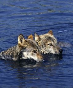 Swimming Wolves
