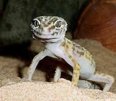 Leopard Geckos As Pets