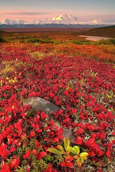 Denali National Park, Alaska. Beautiful, bold colors!