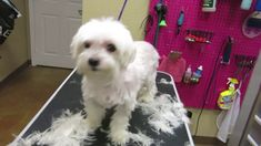 How To Groom Your Dog at Home (Maltese Grooming) Maltese Haircut, Puppy Haircut, Maltipoo Haircuts, Dog Haircuts, Dog Grooming Styles, Dog Grooming Tips, Pet Tips, Puppy Care, Dog Care
