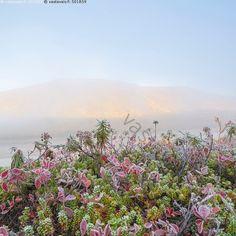 Tenojokilaakson ruska - maisema syksy tunturi Tenojokilaakso aamu Lappi Teno Norja joki ruska värikäs vesi  usva riekonmarja auringonnousu juolukka variksenmarja huurre pakkanen