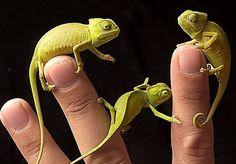 Chameleons!