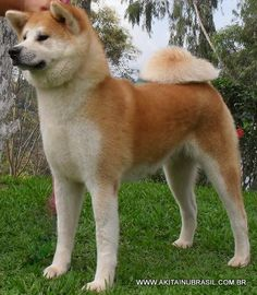 Japanese Dog Breeds, Japanese Dogs, Cute Puppies, Cute Dogs, Bear Hunting, American Akita, Hachiko, Akita Dog, Awesome Dogs