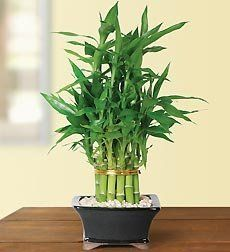 Flowers by 1800Flowers - Pyramid Bamboo - 2 Layer by 1-800-Flowers. $49.99. 100% Satisfaction and Freshness Guaranteed. In order to provide a more accurate delivery, please ensure that an exact delivery date is selected.. If this is a gift, please remember to check the This is a gift checkbox.. A pyramid of bamboo greenery is a powerful symbol of good luck and good fortune--and makes a lovely idea for a gift. Two stands of interior and exterior circles of live bamboo stalks crea...