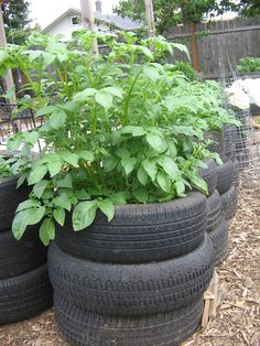 Grow potatoes in recycled tires. No need to dig out the potatoes when it's time to harvest.