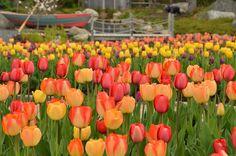 Tulips in the Rainbo