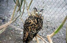 Eule, Scheune, Wild, Vogel, Tierwelt