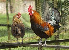 Comment choisir de nouvelles poules dans son poulailler : brahma, crèvecoeur ou encore meusienne...quelques exemples et leurs avantages à les élever.