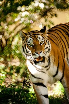 Siberian tiger | par the Snow Tiger