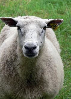 a sheep with freckles?