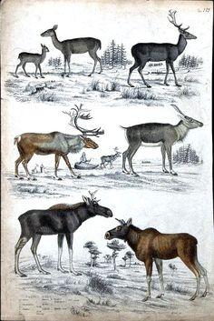 N.H. Animal - Deer - Educational plate { Male}