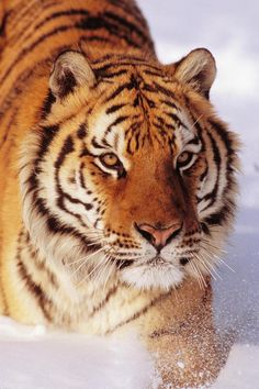 wonderous-world: Siberian Tiger by John Hyde
