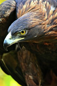Golden Eagle Photograph - Golden Eye by Scott Mahon Wood Painting Art, Bird Painting Acrylic, Bird Drawings, Animal Drawings, Beautiful Birds, Animals Beautiful, Eagle Pictures, Mickey Mouse Art, Eagle Art