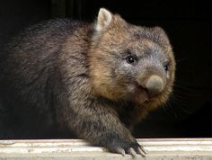 The Wombats (family Vombatidae)
