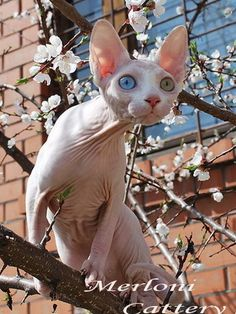 Merloni Sphynx Cattery - list of other Sphynx breeders!