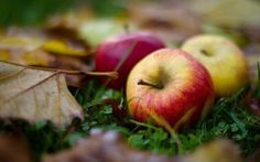 PHOTO: Italian scientists are working to create a hypoallergenic apple through the process of genetic modification. Apple Tree Farm, Apple Orchard, Autumn Day, Autumn Trees, Apple Picture, Full Hd Pictures, Thanksgiving Blessings, Apple Harvest, Beautiful Mind
