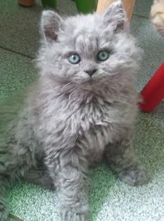 I need a curly haired kitty