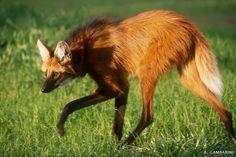 Pró-Carnívoros - Lobo-guará