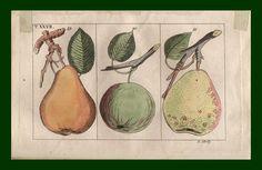 stampe antiche frutta
