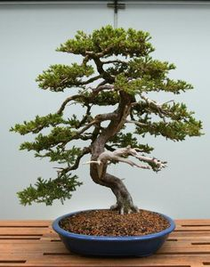 New wing at St. Paul conservatory will house bonsai collection | StarTribune.com