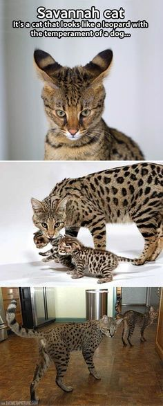 "The ""Savannah"" cat. They are big and beautiful! ❤❤❤❤"