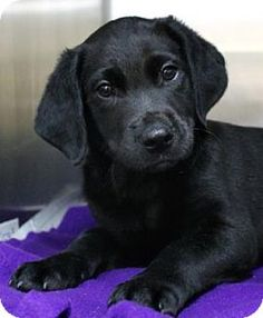 03/26/15-Picayune, MS - Labrador Retriever/Rhodesian Ridgeback Mix. Meet Amos, a puppy for adoption. http://www.adoptapet.com/pet/12600126-picayune-mississippi-labrador-retriever-mix