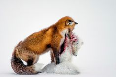 "La fotografia vincitrice del Wildlife photographer of the year e della categoria ""mammiferi"": ""La storia di due volpi"".  La fotografia, scattata a Hudson Bay, in Canada, mostra un comportamento sorprendente: le volpi rosse di solito non cacciano le volpi artiche (Don Gutoski/2015 Wildlife Photographer of the Year)."