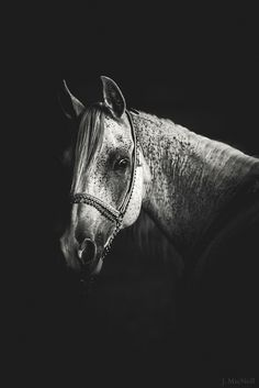 Arabian Horse | Flickr - Photo Sharing!