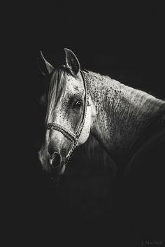 Arabian Horse, Desired Millicent