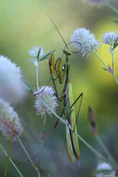 Mantis by Philippe PONSIN* via  John Van Uffelen . this has to be the most beautiful insect in nature photo I've ever seen! Love the over saturation for this one. Perfect.