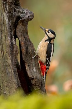 Woodpecker..always one out my patio. Grandma called me to door one day and said, Look I bet his head hurts! Still makes me laugh to this day when I hear him.