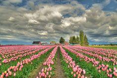 Bulb fields near Egmond, Noord-Holland, Netherlands