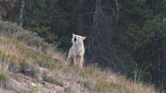 You never know what wildlife you're going to see in Montana, but she rarely disappoints!