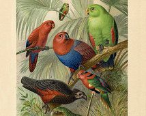 Tropical Parrots Art Print no.1 - Animal Illustration  - Antique Style Wall Art - Museum Quality