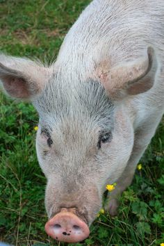 I had so much visiting Pigs Peace Sanctuary in Stanwood, WA, and meeting new friends! #vegan #carrieonvegan